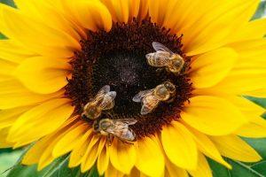 Saving the Honey Bees