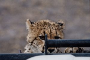 cheetah cub on hood