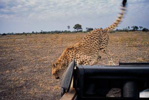 Cheetah Cub on Jeep Hood