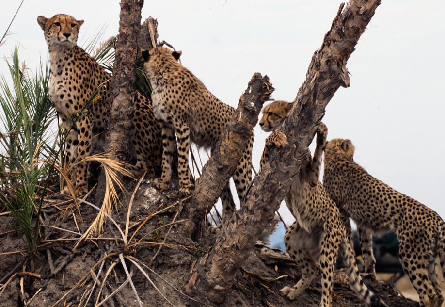 Four Cheetah Cubs