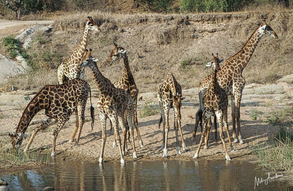 Giraffes standing