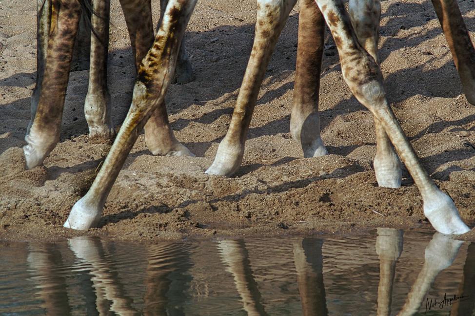 Giraffe feet at waterhole